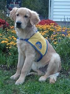 Goldens Retrievers: Labrador Retriever And Golden ...