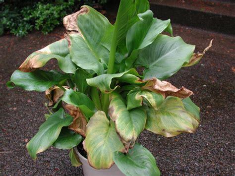 calla lily zantedeschia spp soft rot pacific
