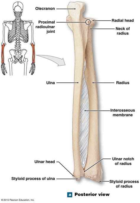 Ulna Diagram Neck by Posterioir View Of The Right Radius And Ulna Nursing