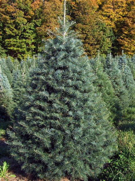 concolor smell like oranges christmas trees cranston s tree farm trees wreaths