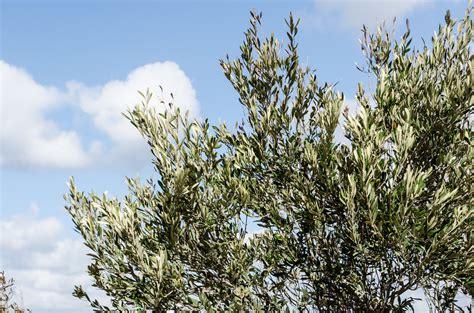olive tree leaves olive trees on mykonos luxury villa in mykonos 1179