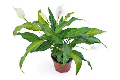braune spitzen zimmerpflanzen einblatt bekommt braune blattspitzen 187 woran liegt s