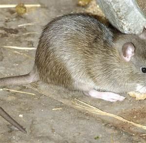Was Fressen Ratten : brehm ber ratten sie fressen kleine kinder bei lebendigem leibe welt ~ One.caynefoto.club Haus und Dekorationen
