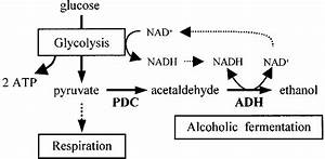 Diagram Of Alcoholic Fermentation Pathway In Plants