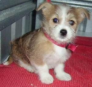 Silkyhuahua | Silkyhuahuas - Chihuahua x Silky Terrier