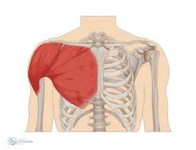 Shoulder Structure Anatomy