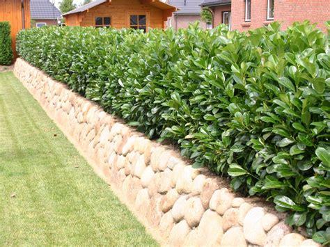 Kirschlorbeer Dicht Bekommen by Kirschlorbeer Lorbeerkirsche Etna 174 Prunus