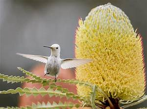 Rare White Hummingbird Steals the Spotlight at California ...