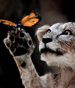 Lion Cub Butterfly