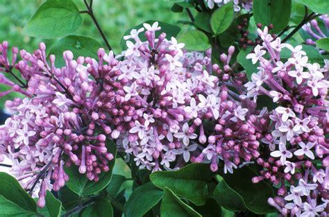 small lilac bush varieties 15 beautiful lilac varieties