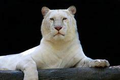 51 White tigers ideas | wild cats, animals wild, animals ...