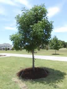 tree land nursery dallas pistachio tree