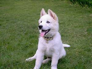 File:Kintamani dog white.jpg - Wikimedia Commons