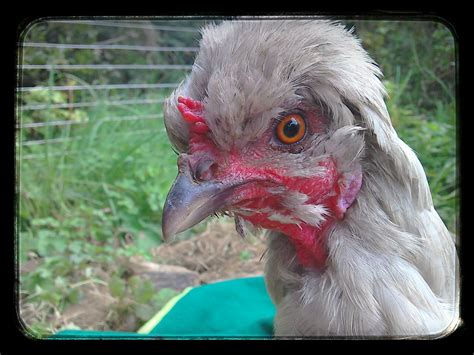 andalusian chickens omlet breed
