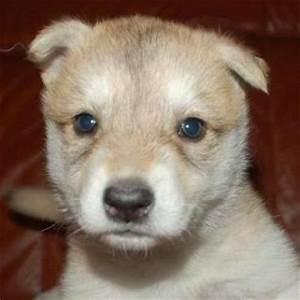 Snapzu Earth: Tamaskan Puppy Cam by White Elk Tamaskan