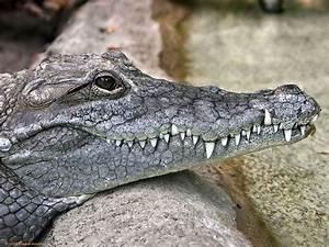 crocodile-head-picture.jpg (1024×768) | Crocodile ...