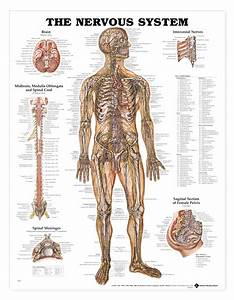 Alternative Medical Systems Chart Human Nervous System Anatomical Chart Anatomy Models And