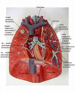 Heart Diagram Without Labels