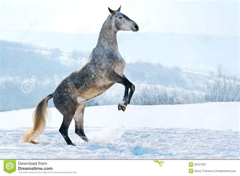 gray horse rearing  snow stock image image  domestic