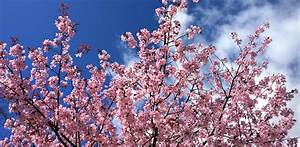 Top Place To Visit in Spring: Gyeongju Cherry Blossom ...