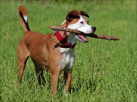 "Jonnys Joe ""Mojo"" (American Bulldog, Australian Shepherd ..."