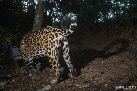 Jaguars Moving by Jaguar Spotted Cat Makes A Gorgeous Appearance In