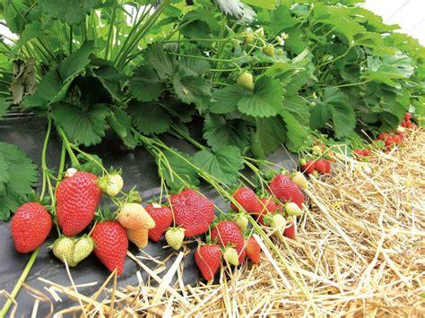 fragole in vaso coltivazione nuove piante di fragole da piantare ad agosto