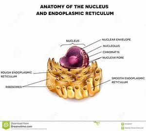 Cell Nucleus And Endoplasmic Reticulum Stock Vector