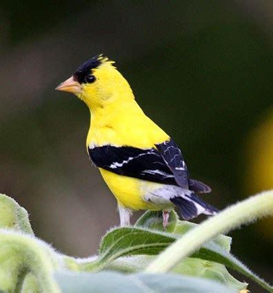american goldfinch celebrate urban birds