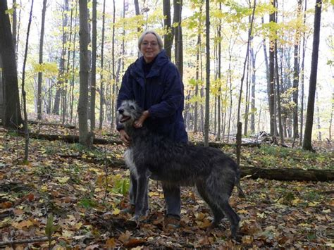 scottish deerhound dog breed information puppies pictures