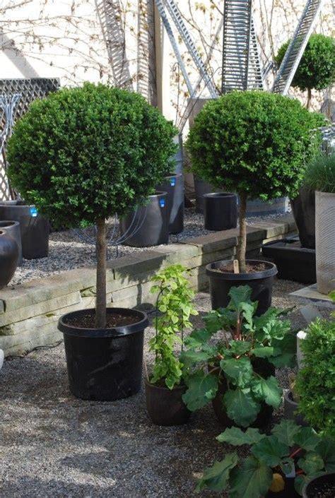 single ball boxwood topiaries topiary pinterest