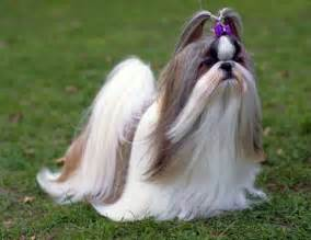 shih tzu dog info fun animals wiki videos pictures