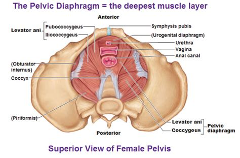 pelvic floor myalgia levator ani spasm muscles of the thorax for breathing and the pelvic floor