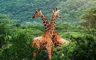 Giraffes Desktop Giraf Giraffe Jungle Jirafas Wallpapers