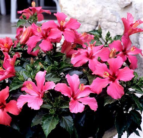 hibiscus entretien hibiscus planter et tailler ooreka