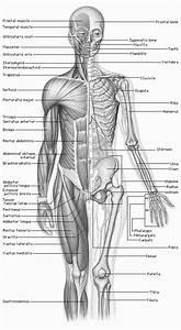 Human Anatomy Clipart Free