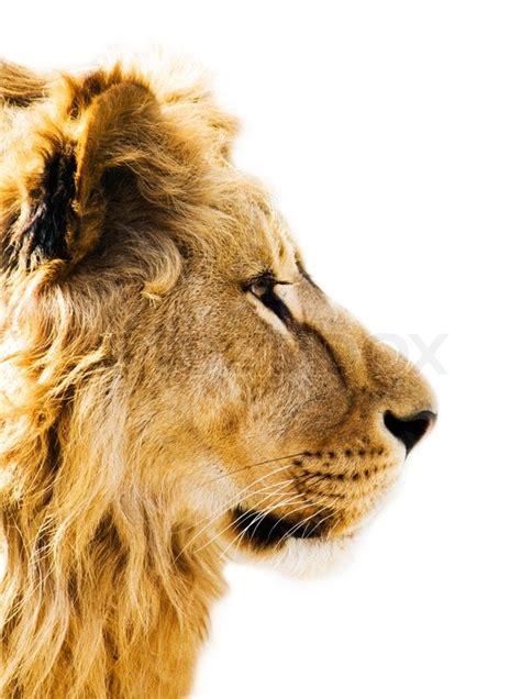 portrait   beautiful lion stock photo colourbox
