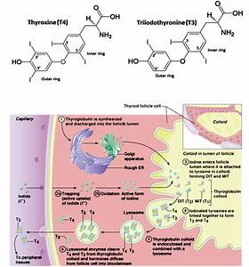 Molecular Structure Of T4 And T3 And Thyroid Hormone