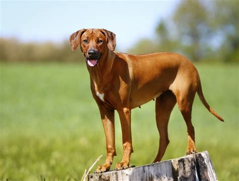 Rhodesian Ridgeback Excessive Shedding by Types Of Hound Dogs