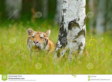 201 t 233 avec le tigre cach 233 dans l herbe tigre avec les