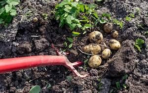 Kartoffeln Lagern Wohnung : kartoffeln ernten kartoffeln ernten kartoffeln ernten im ~ Lizthompson.info Haus und Dekorationen
