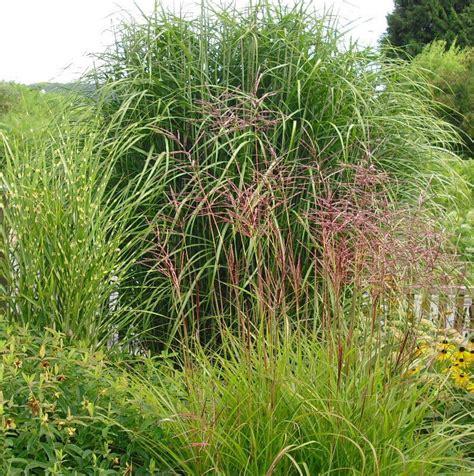 gräser für garten pin bambus gras on