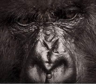 Animated Gifs Anime Amazing Gorilla Ag Awesome
