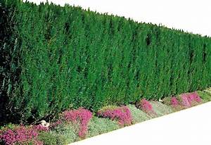 Lavendel Sorten übersicht : lebensbaum hecke pflanzen abstand lebensbaum hecke pflanzen hecke lebensbaum smaragd online 10 ~ Eleganceandgraceweddings.com Haus und Dekorationen