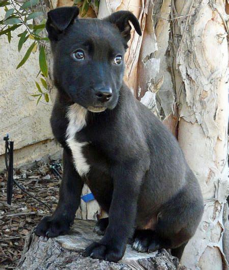 claire  adoptable shepherd mix pitbull mix puppies