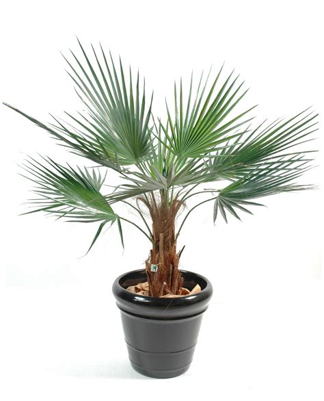 palmier washingtonia 120cm arbres artificiels vente en ligne
