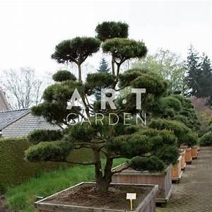 Arbre En Nuage : acheter arbres nuages pinus mugo mughus ~ Melissatoandfro.com Idées de Décoration
