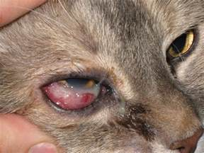 infections in cats cat eye infections 7 cat eye infection pictures you