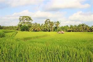 The Rice Fields Near Ubud, Bali
