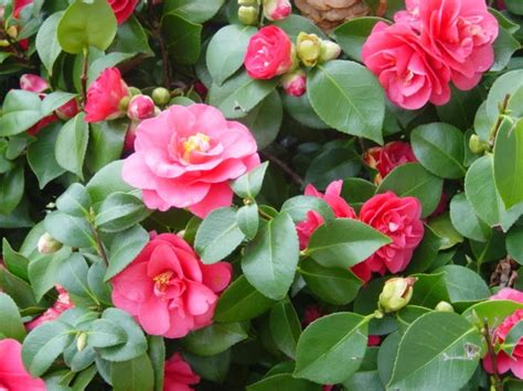 what to plant with camellias how to take cuttings from camellia the garden of eaden